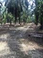 Taiping Palm Oil Land, , Larung Matang