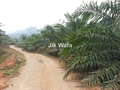 Oilpalm plantation, Perlop 1, Sungai Siput